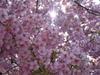 Sakura174