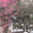 沼津「大中寺の梅」