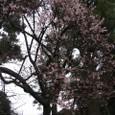 沼津「光長寺の早咲き桜」
