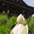 沼津蓮興寺の「蓮の花」