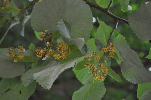 沼津宝珠院「菩提樹の花」